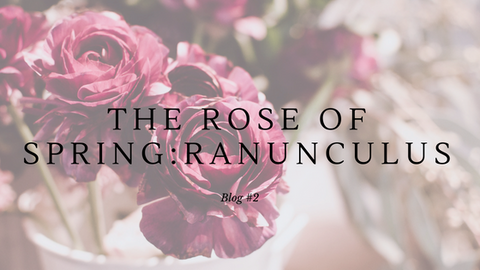 rose of spring : Ranunculus
