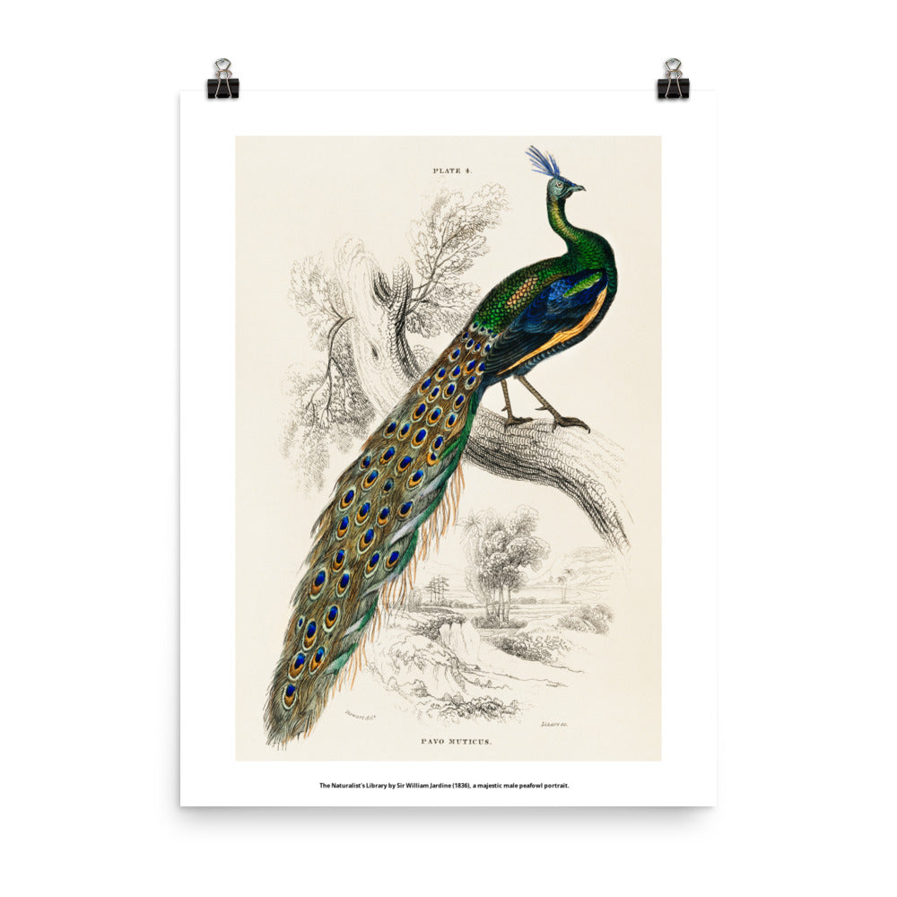 Majestic Male Peafowl Pavo Muticus Enhanced Matte Paper Poster
