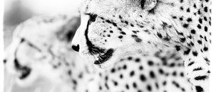 Coffee Mug BW16 Cheetah