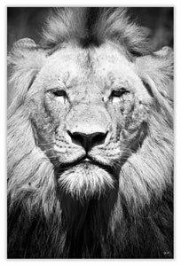 Art Print 590mm x 390mm BW11 Lion