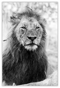 Art Print 590mm x 390mm BW56 Lion