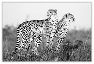 Art Print 590mm x 390mm BW57 Cheetah