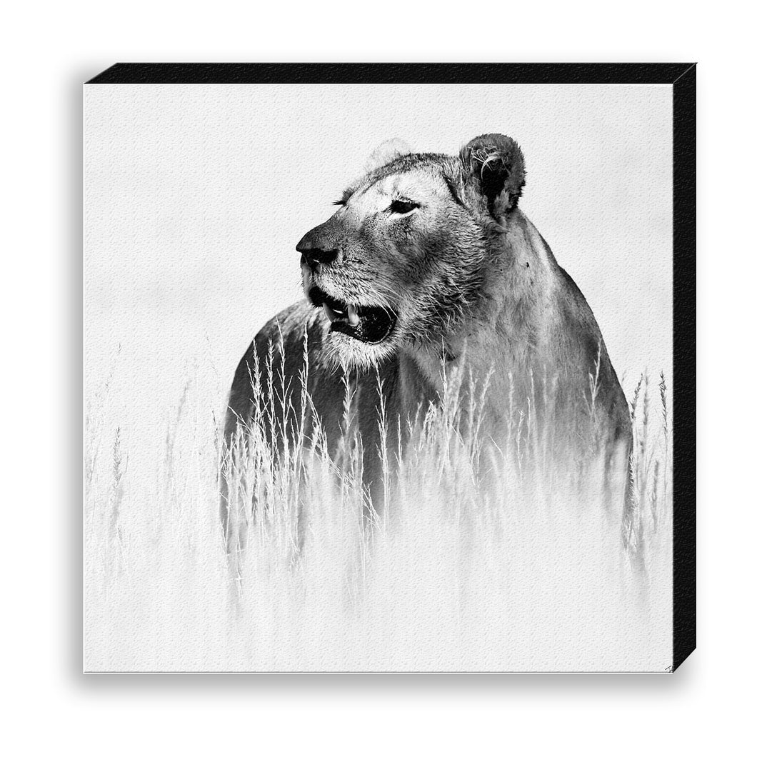 CANVAS 30*30 BW02 Lioness