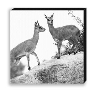 CANVAS 30*30 BW36 Klipspringer
