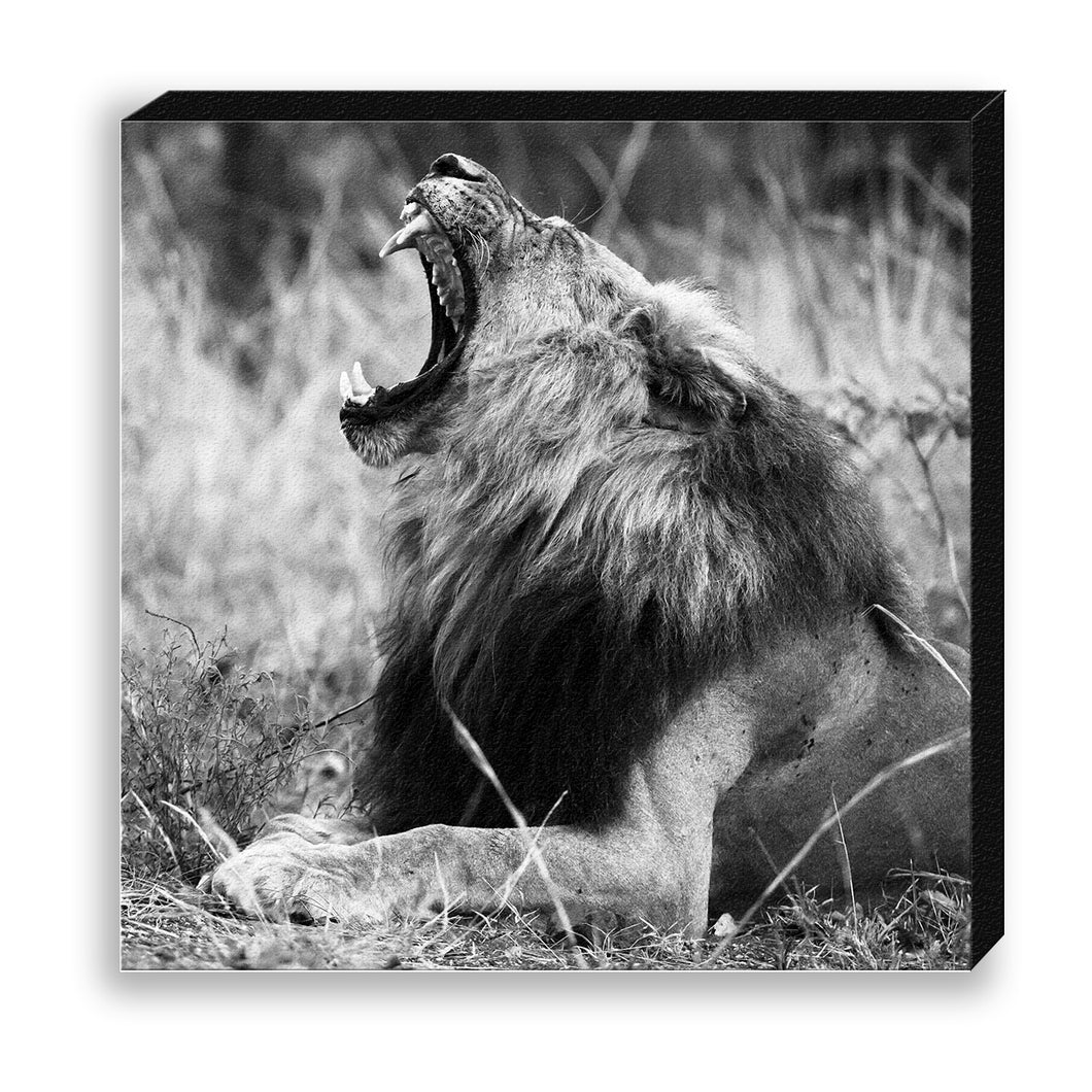 CANVAS 30*30 BW38 Lion