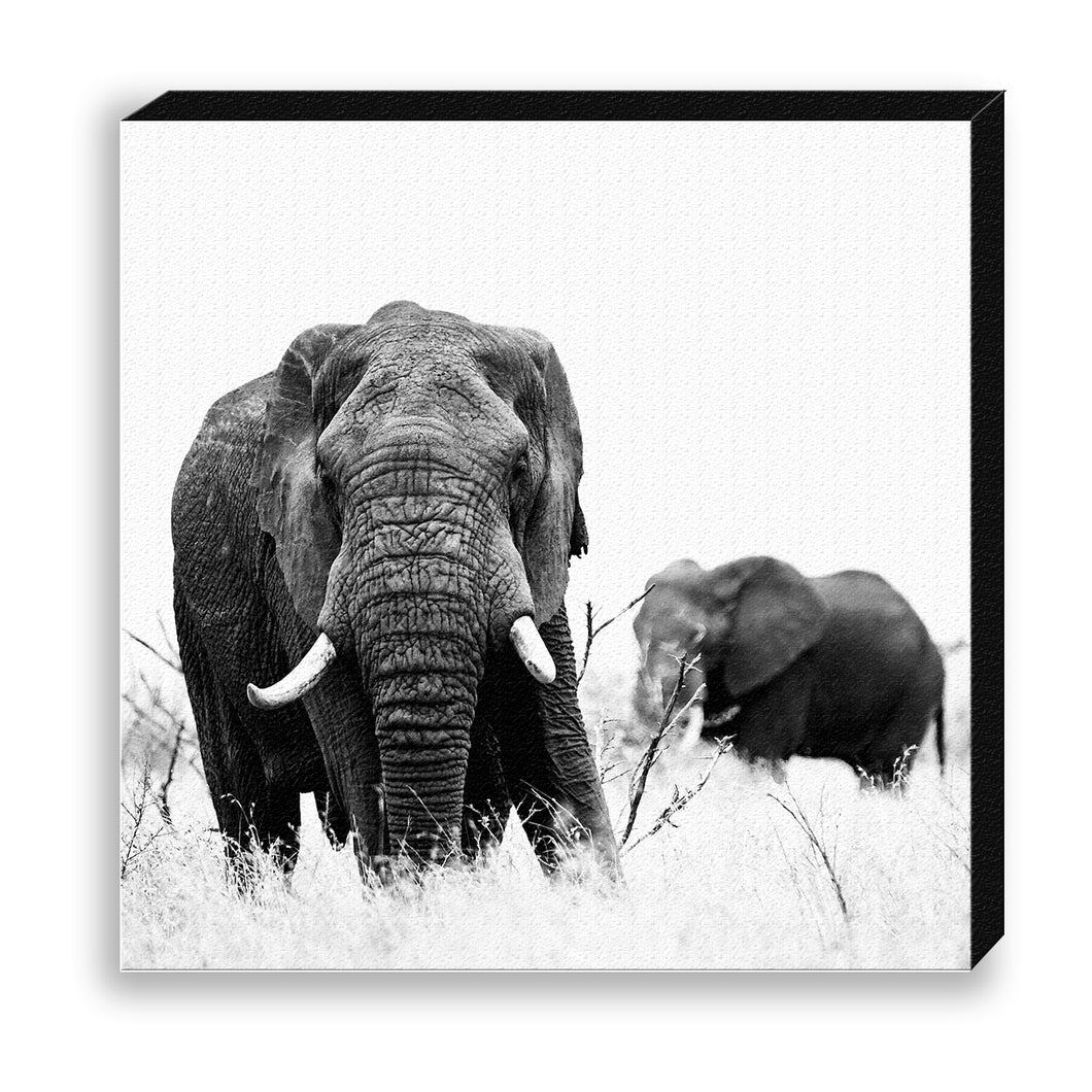 CANVAS 30*30 BW43 African Elephant
