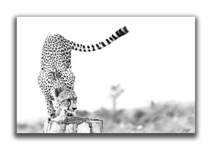 Large Format Canvas - Cheetah Rock