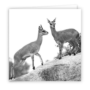 Large Greeting Card GC171 Klipspringer