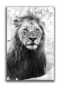 Large Format Canvas - Lion Stare