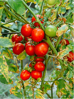 tomatoes-seeds-to-sauce-toolkit-tomato-bunch-on-vine