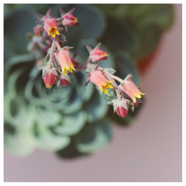 Echeveria On Pink #2 -  Fine Art Photograph