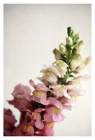 Snapdragon #1-  Fine Art Photograph