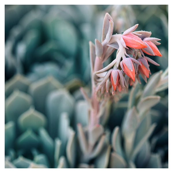 Autumn Echeveria #1 -  Fine Art Photograph