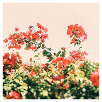 Bougainvillea Dream - Fine Art Photograph