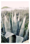 Pale Agave -  Fine Art Photograph