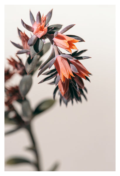 Summer Succulent #2 -  Fine Art Photograph