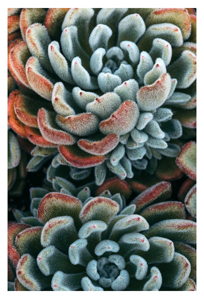 Autumn Succulent #1 -  Fine Art Photograph