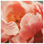 Paeonia #7 -  Fine Art Photograph
