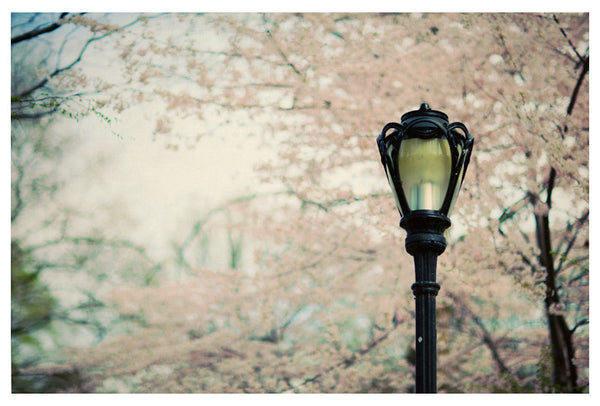 Cherry Blossoms photographed in New York City's Central Park.