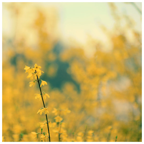 Forsythia - Fine Art Photograph