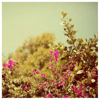 Bougainvillea #1 - Fine Art Photograph