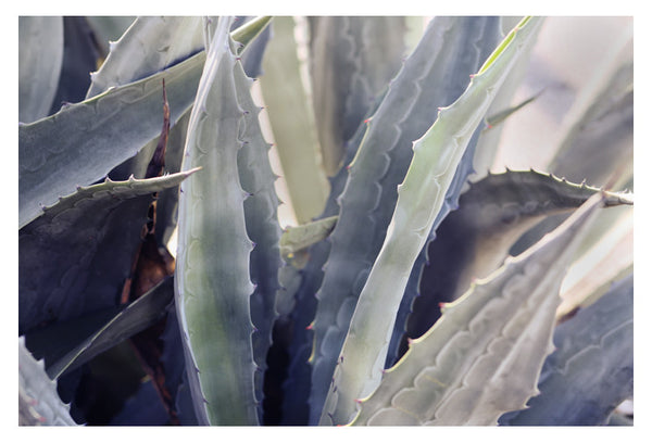 Winter Agave #5 -  Fine Art Photograph