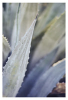 Winter Agave #6 -  Fine Art Photograph