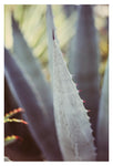 Winter Agave #1 -  Fine Art Photograph
