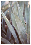Winter Agave #3 -  Fine Art Photograph
