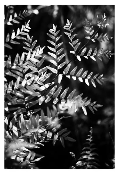 King Fern In Black & White - Fine Art Photograph