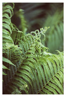 Fern #9 - Fine Art Photograph