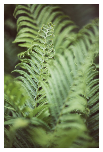 Fern #7 - Fine Art Photograph