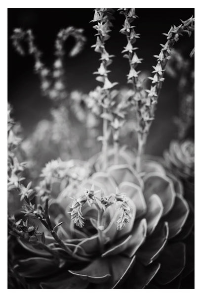 Echeveria In Gray #2 - Fine Art Photograph