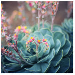 Echeveria #1 -  Fine Art Photograph