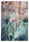Echeveria #4 -  Fine Art Photograph