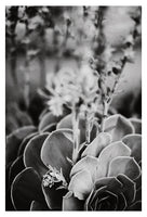 Echeveria In Gray #1 - Fine Art Photograph