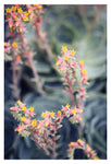 Echeveria #2 -  Fine Art Photograph