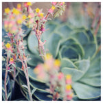 Echeveria #3 -  Fine Art Photograph