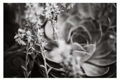 Echeveria In Gray #3 - Fine Art Photograph