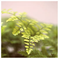 Fern Study On Pink #4 - Fine Art Photograph