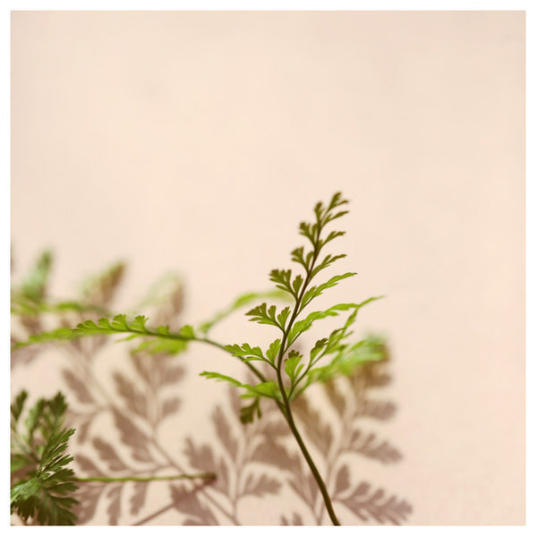 Shadow Fern #1 - Fine Art Photograph
