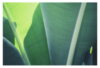 Plantain #1 - Fine Art Photograph
