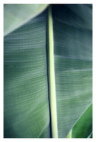 Plantain #4 - Fine Art Photograph