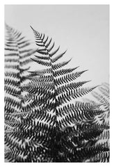 Fern Study In Black & White #1 - Fine Art Photograph
