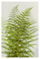 Fern Study #2  - Fine Art Photograph