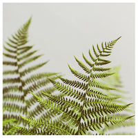 Fern Study #1 - Fine Art Photograph