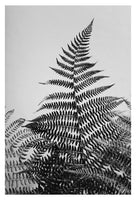 Fern Study In Black & White #2 - Fine Art Photograph