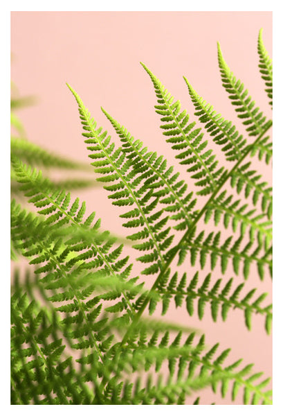 Fern Study On Pink #5 - Fine Art Photograph