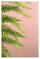 Fern Study On Pink #1 - Fine Art Photograph