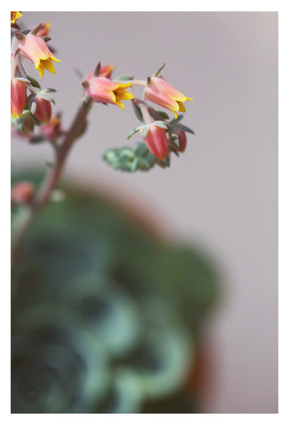 Echeveria On Pink #1 -  Fine Art Photograph